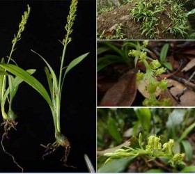 13 loài lan ở khu bảo tồn thiên nhiên Hòn Bà