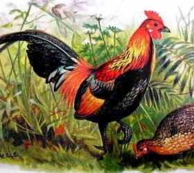 Gà rừng Red Junglefowl - Gallus gallas