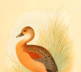 Le nâu, Lesser Whistling Duck - Dendrocygna javanica