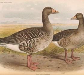 Ngỗng trời - Greylag Goose