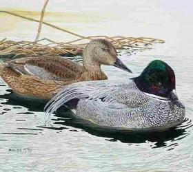 Vịt lưỡi liềm - Falcated Duck - Anas falcata (Georgi, 1775)