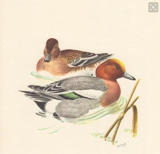 Vịt đầu vàng - Eurasian Wigeon - Anas penelope Linnaeus. 1758