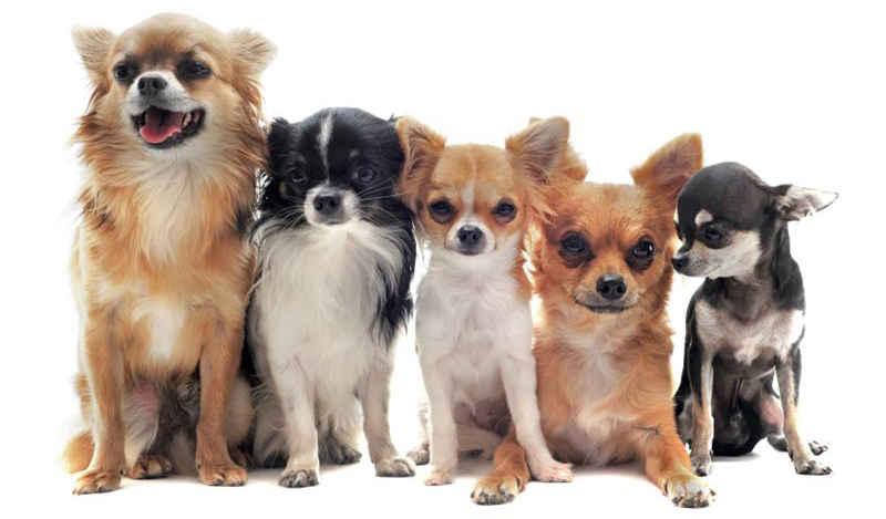 Hình ảnh đẹp về các giống chó Chihuahua