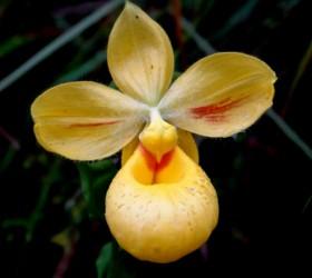 cypripedium irapeanum orchidaceae