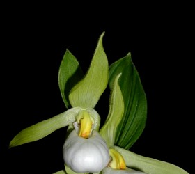 Cypripedium cordigerum