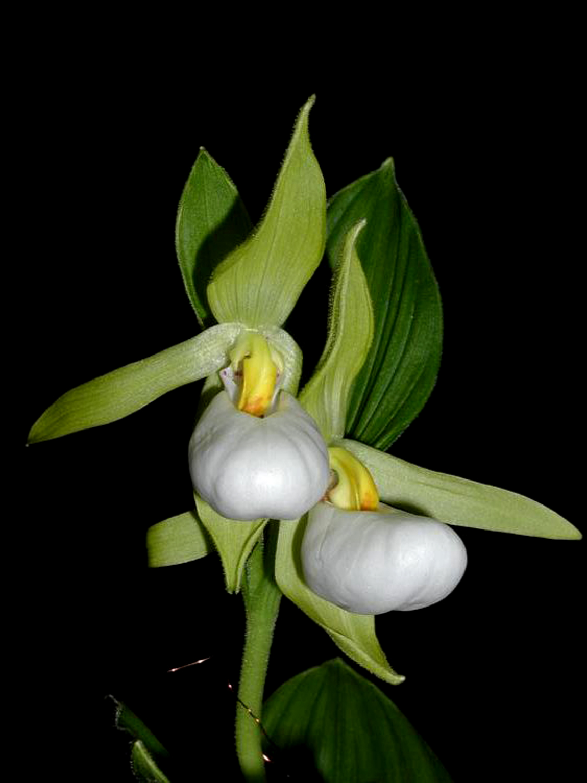 Cypripedium cordigerum