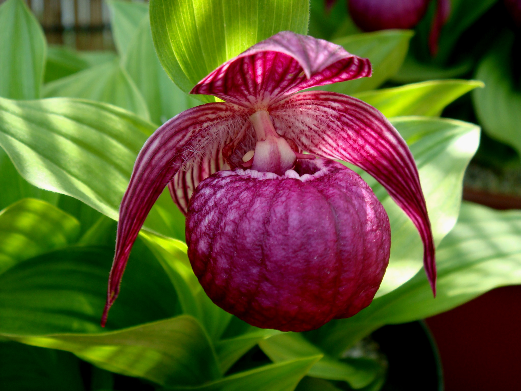 Cypripedium macranthum 1