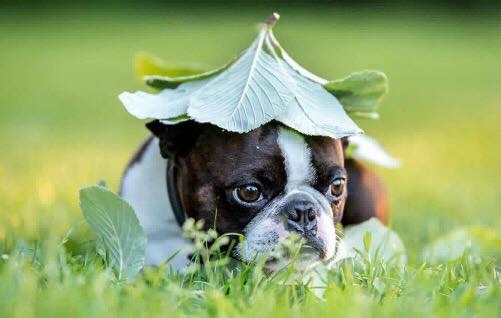 Boson Terrier