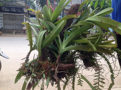 'Bắt bệnh' cho lan rừng Tây Bắc từ khó thành dễ nở hoa