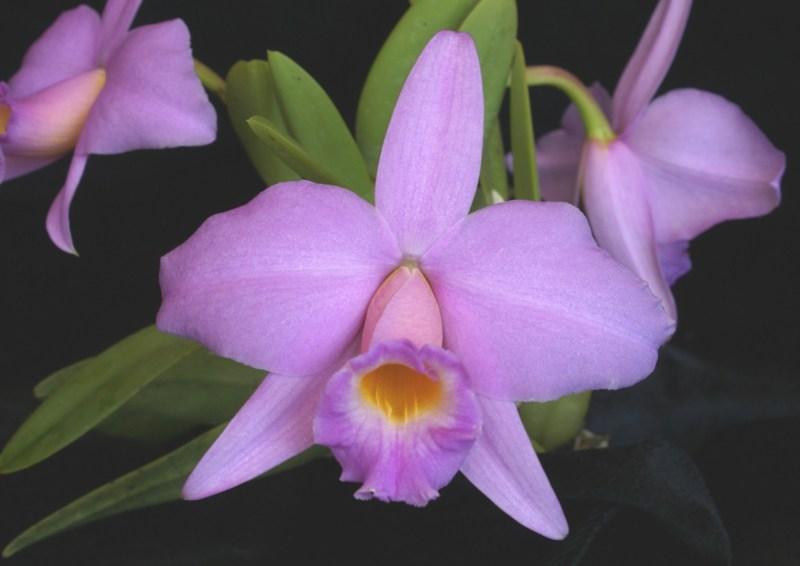 C. praestans