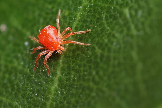 spider-mite 1