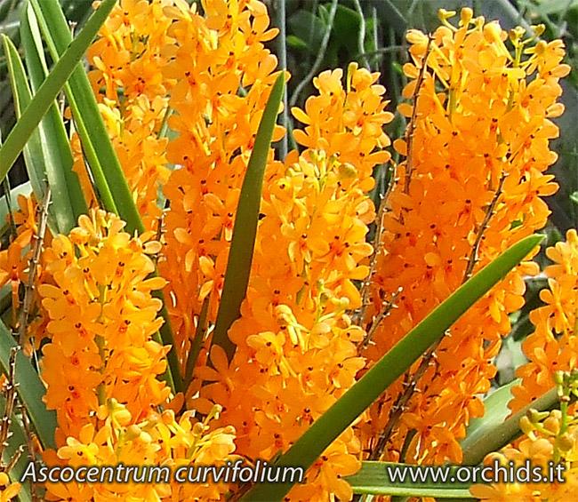 ascocentrum_curvifolium