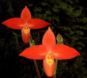 Phragmipedium besseae Orchid