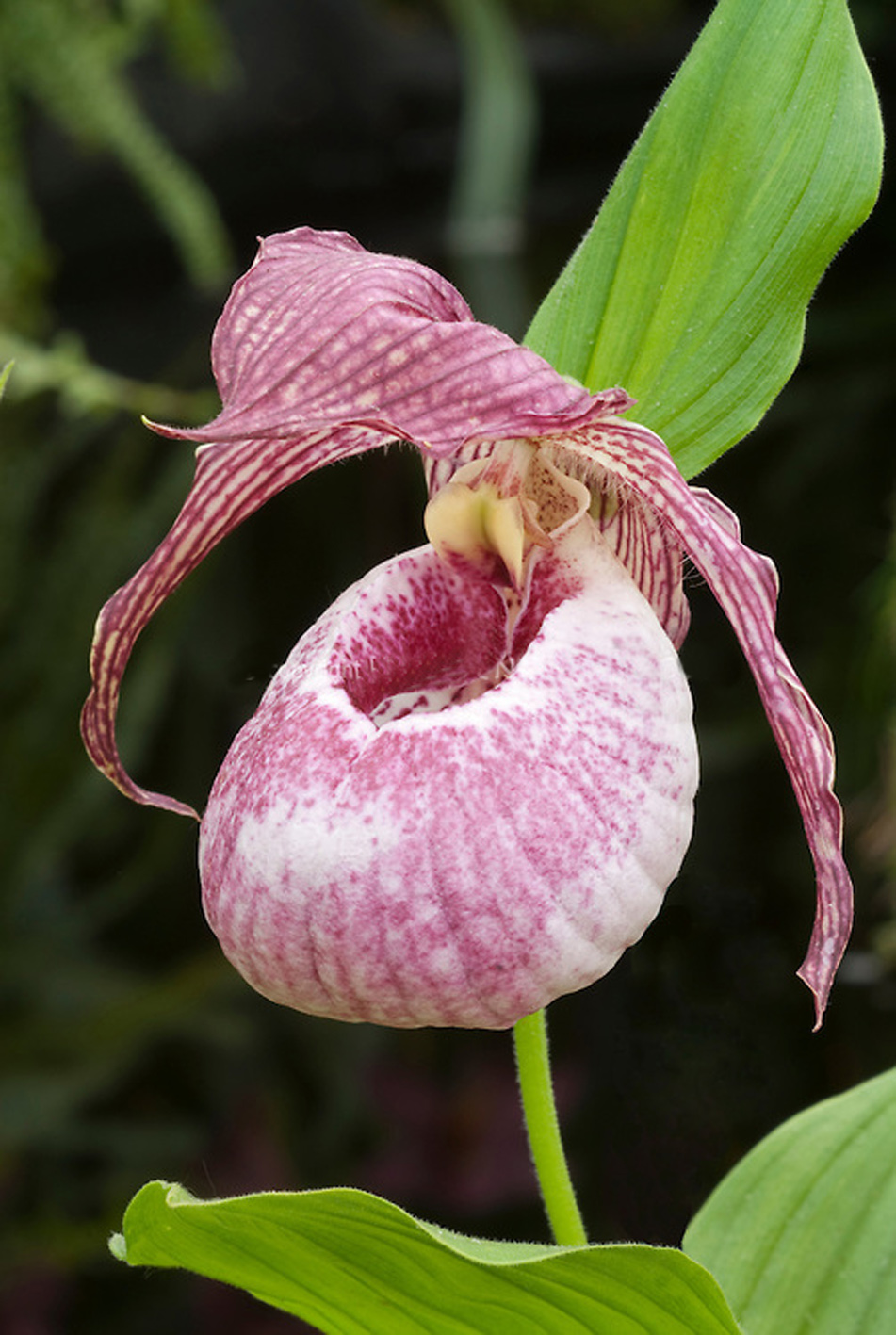 Cypripedium hybrid orchid