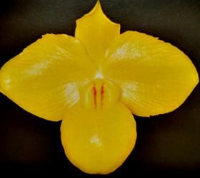 Paph. armeniacum