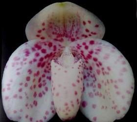 Paph. bellatulum fma