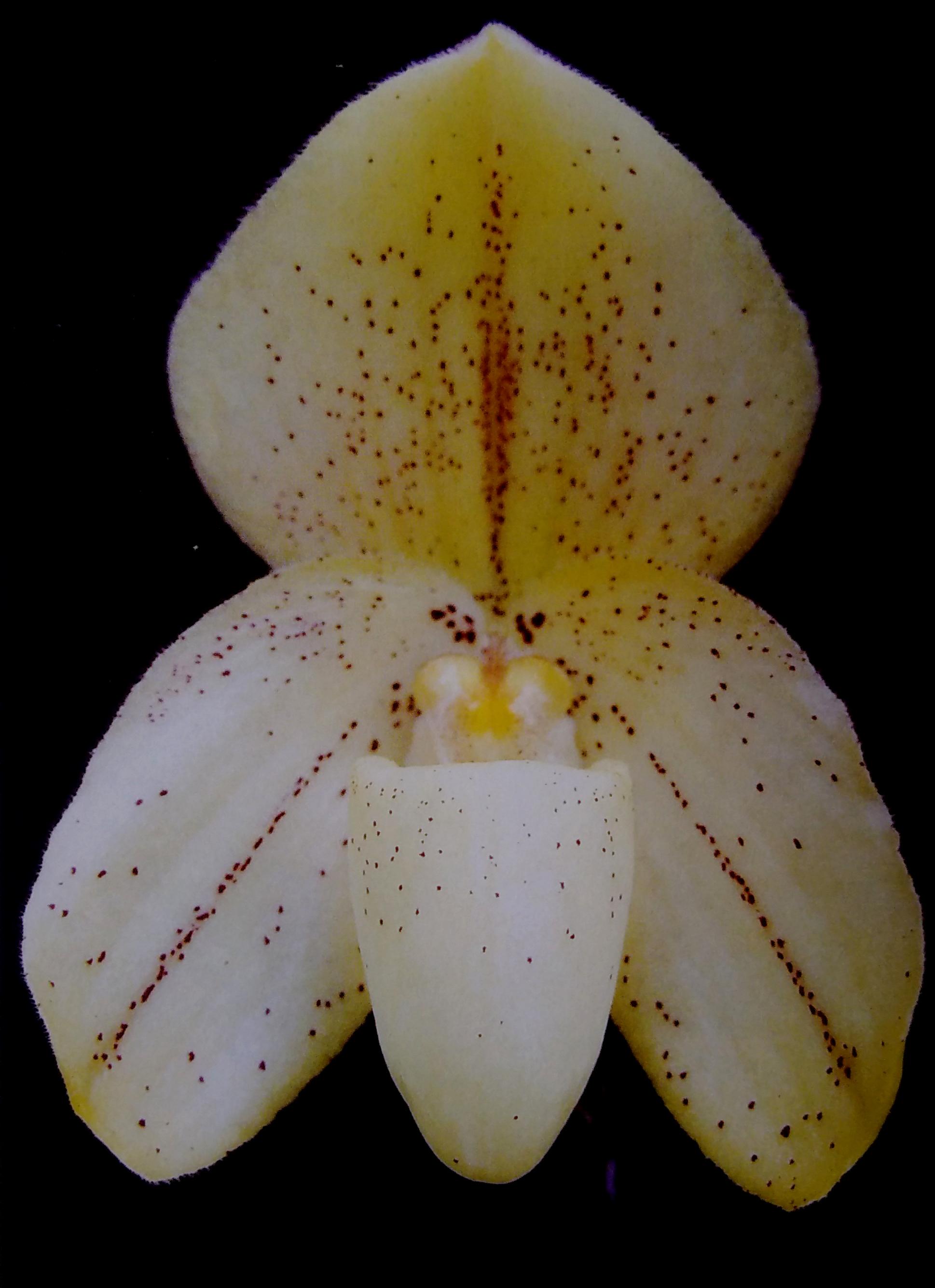 Paph. concolor