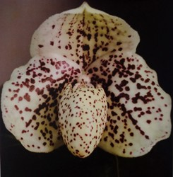 Paph. godefroyae copy
