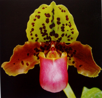 P. henryanum copy