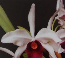 Laelia purpurata 'Cindarosa'