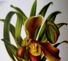 P. villosum