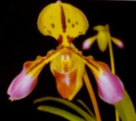 P.markianum