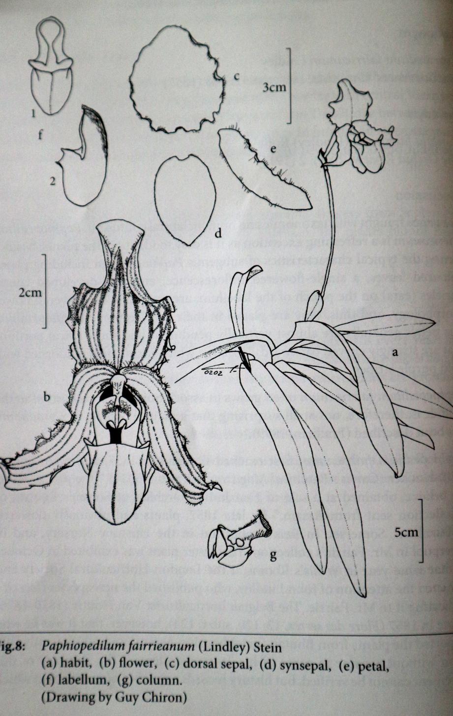 P. fairri