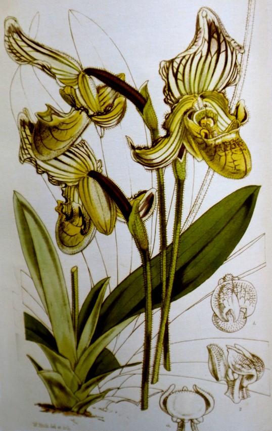 P. fairrieanum