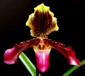 Paph. esquirolei