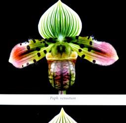 P. venustum