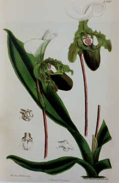 Paph. spicerianum