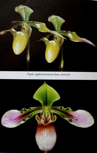 P appletonianum