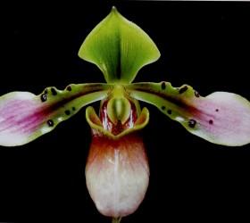 P. bullenianum
