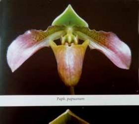P papuanum& papuanum album