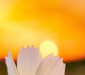 Hoa &mặt trời