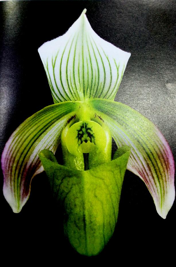 Paph. bougainvilleanum