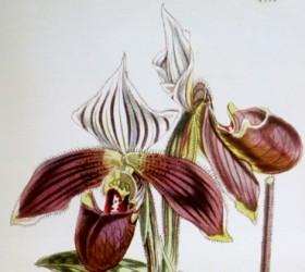 P. purpuratum