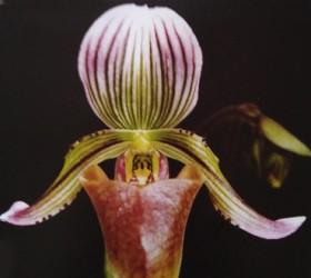 P. fowliei