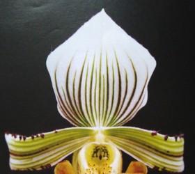 P. hennisianum