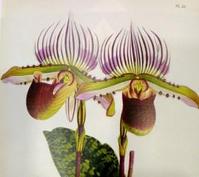P. lawrenceanum 1