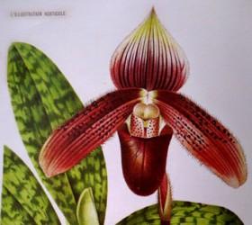 P. ciliolare