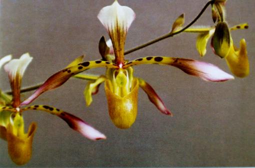 P. haynaldianum