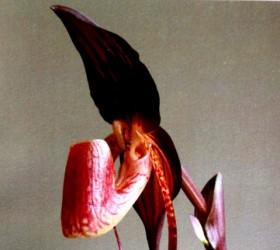 P. anitum