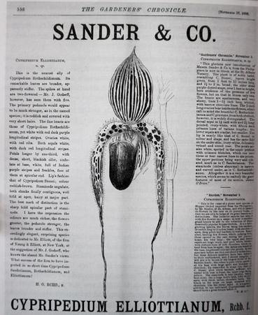 P. elliottianum