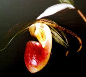 P. gigantifolium