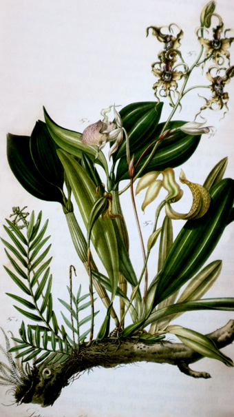 P. glanduliferum