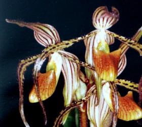 P. intaniae