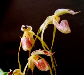 P. platyphyllum