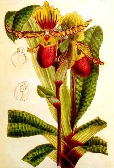 P. chamberlain 1