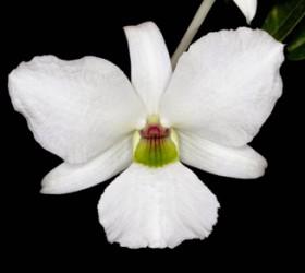 Dendrobium sanderae var luzonicum